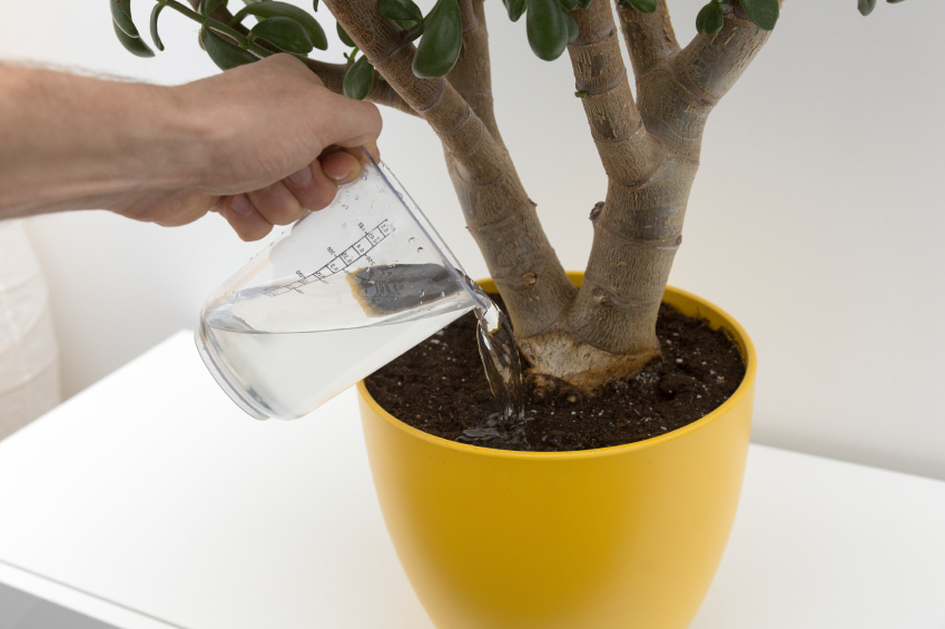 Person watering plant which is in yellow plant pot using jug
