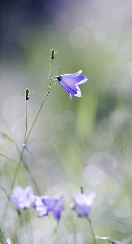 Blue Harebells (Campanulas) wild flowers
