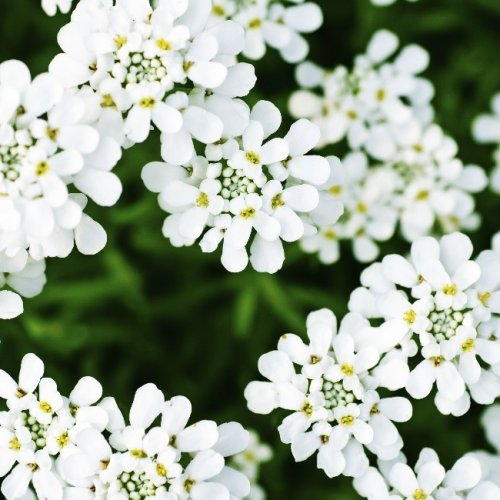 white flowers with a green background