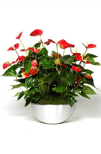 Plant-bowl-Anthurium