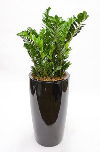 Plant-specimin-Zammia-black