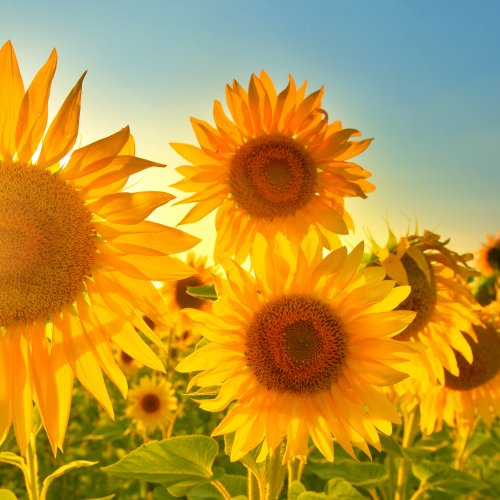 Beautiful sunflowers growing in field in front of blazing sunshine